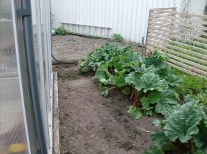 På baksidan av växthuset frodas rabarbern. Den mittre var nog dubbelt så stor innan jag grävde upp delar av den.