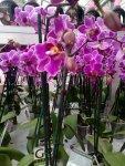 Cerise orkidé, Fantastiskt snygg och färgstark, men då måste jag nog ta det cerisa draperiet, och det är ju kanske inte min färg trots allt