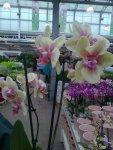 Gul och rosa orkidé super snyggt mot grått, gillar skarpt den här