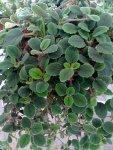 Asobia dianth. Jätte söt med lite ludna blad och vita tufsiga blommor